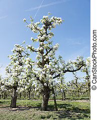 apple blossom in orchard near utrecht in the netherlands -...