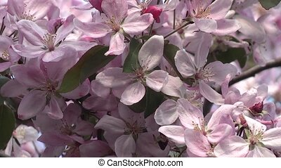 apple blossom in spring in the garden.