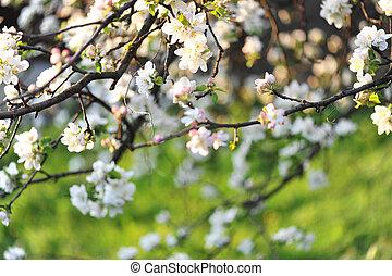 Apple blossom in spring