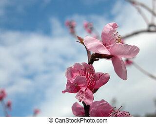 Apple Blossom In Spring!