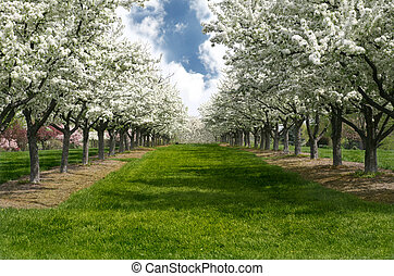Apple Blossom Lane - Grass Lane Lined with Apple Trees in...
