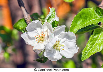 Apple blossom on a branch as background
