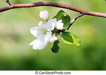 Apple Blossom on a multi variety apple tree