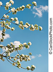 apple blossom on blue sky background