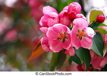 Apple blossom - Pink apple blossom close up in spring...
