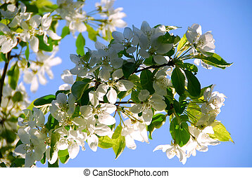 Apple blossom - Branch of an apple tree blooming on...