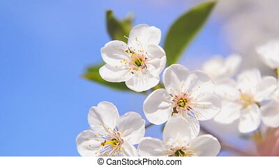 Apple blossoming flowers