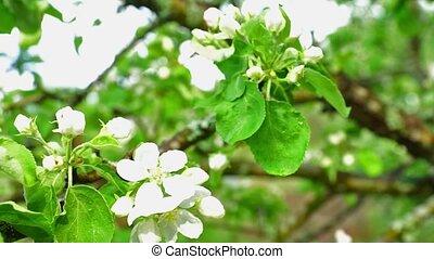 Apple Blossoms Apple Tree