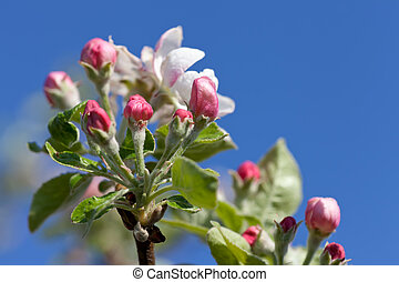 apple blossoms in spring against the blue sky