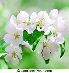 apple blossoms in spring