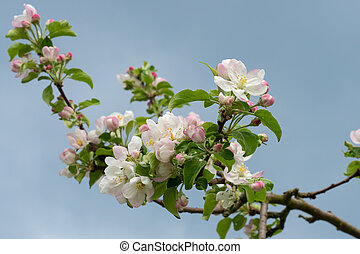 Apple blossoms on a background of blue sky. Spring flowers.