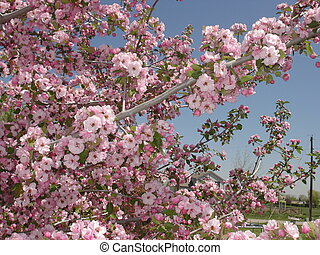 Pink crabapple blossoms in the spring