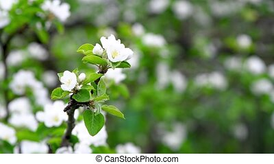 apple blossoms sway from the wind. spring background. copy ...