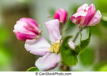 Apple blossoms with fresh soft petals and green leaves in spring