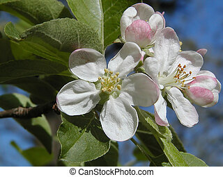 apple blosson - taken in my yard