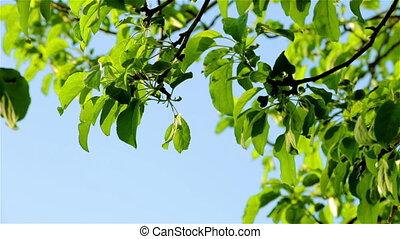Apple branch on breeze