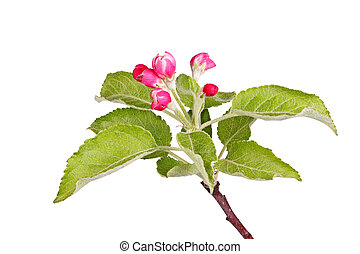 Apple buds and leaves isolated against white - Buds and new...