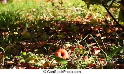 apple crop on the ground