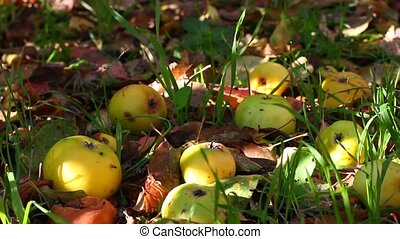 apple crop on the ground