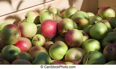 Freshly harvested ripe apples in big wooden crate in orchard