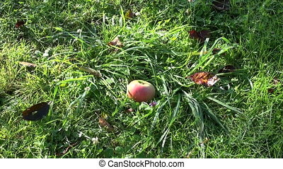 apple falling on garden grass