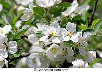 apple., fioritura, impollina, fiore, ape