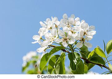 apple flower against the blue sky