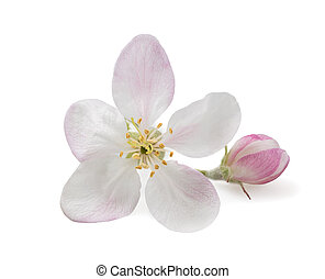 Apple Flower with bud isolated on  white