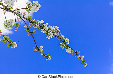 apple flowers against intensely blue sky