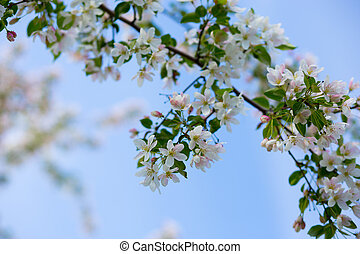 apple flowers. against the blue sky.