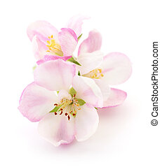 Apple flowers isolated.