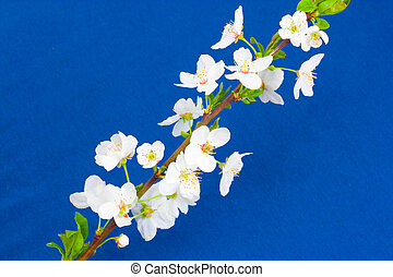 apple flowers on a blue background