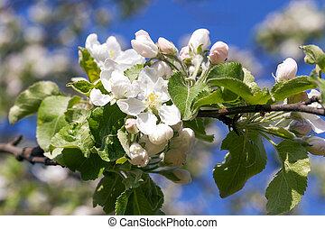 apple flowers, sky