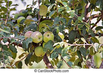 Apple fruit garden