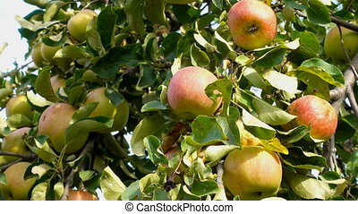 apple fruit on tree with leaves of summer, sunlight,...