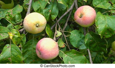 apple fruit on tree with leaves outdoors