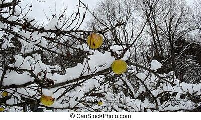 apple fruit tree snow