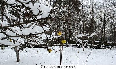 apple fruit winter garden