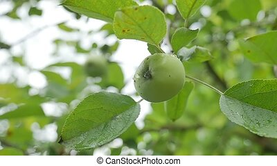 apple green hanging on a tree, dew water drops slow motion video