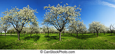 Apple groove - Apple Orchard in the middle of the spring ...
