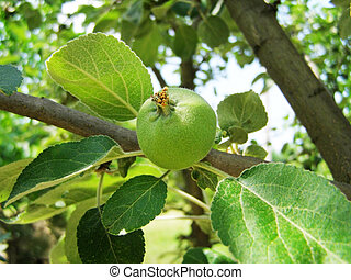 apple grows on a tree