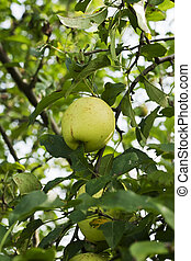 apple hanging on a branch
