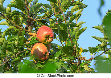 Apple hanging on a tree