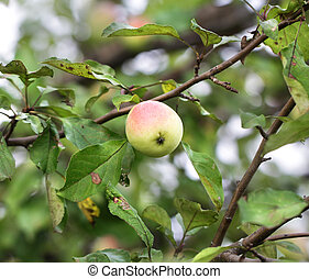 Apple hanging on a tree branch