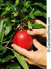 apple harvest 02