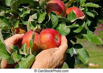 apple harvest 03