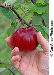 apple harvest 04