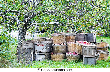 Apple harvest in bushels and crates under an apple tree