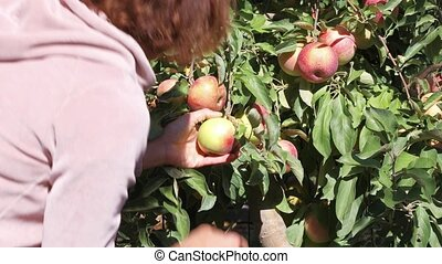 Female seasonal worker picks ripe juicy apples from tree in farm orchard on a sunny autumn day. Agricultural theme