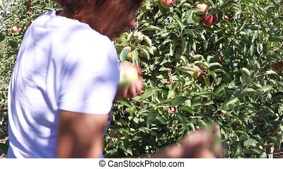 Female seasonal worker picks ripe juicy apples from tree and puts them in a bucket in farm orchard on a sunny autumn day
